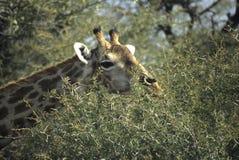 Giraffe, die auf Akaziendornenbaum durchstöbert Stockfotos