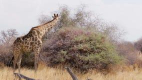 Giraffe, die auf Baum, wild lebende Tiere Namibias, Afrika weiden lässt stock video