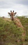 Giraffe, die auf der Akazie betrachtet Zuschauer weiden lässt Lizenzfreie Stockbilder