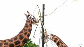 Giraffe, die auf einigen Blättern weiden lässt stock footage