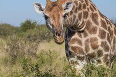 Giraffe, die Autofenster untersucht Stockfotografie