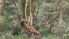 Giraffe, die Blätter eines Baums isst stock video footage
