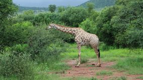 Giraffe, die Blätter im Nationalpark isst Lizenzfreie Stockfotos