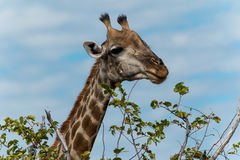 Giraffe, die Blätter isst Stockfoto
