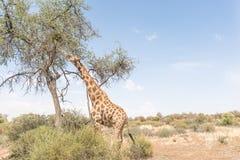 Giraffe, die Blätter isst Stockbilder