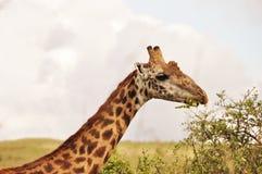 Giraffe, die Blätter kaut Stockfotos