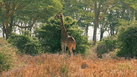 Giraffe, die Blätter in Nakuru Park isst stock video footage