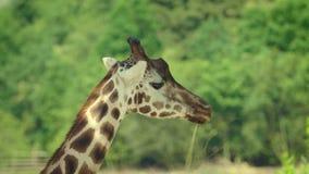 Giraffe, die Blattdetail 4K isst stock video