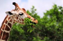 Giraffe, die Blätter isst Stockbild