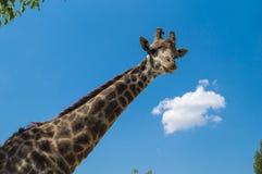 Giraffe, die in camera schaut lizenzfreie stockbilder