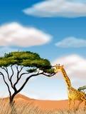 Giraffe, die in das Feld läuft Stockbild