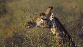 Giraffe, die an der Spitze eines Baums weiden lässt stock video