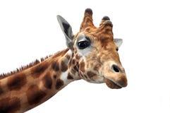 Giraffe, die die Kamera untersucht Lizenzfreies Stockfoto