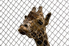 Giraffe, die durch metallisches nett schaut Lizenzfreie Stockfotos