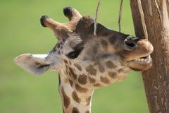 Giraffe, die ein Jucken löscht Stockfoto