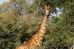 Giraffe, die einen Blick darüber und darunter die Büsche wirft Lizenzfreie Stockbilder