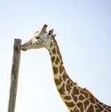 Giraffe, die einen hohen hölzernen Pfosten leckt Stockfotografie
