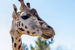 Giraffe, die etwas heraus Zunge haftet Stockbilder