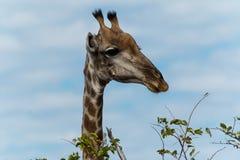 Giraffe, die für Blätter auf Baum geht Lizenzfreie Stockfotografie