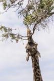 Giraffe, die für Lebensmittel erreicht lizenzfreie stockfotos