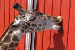 Giraffe, die gewölbtes Metall leckt Stockfoto