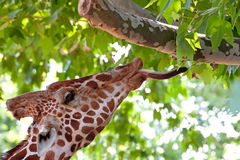 Giraffe, die Grünblätter auf dem Baum isst Stockbild