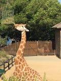 Giraffe, die herauf Hoch einzieht Lizenzfreies Stockbild