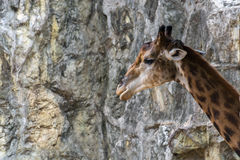 Giraffe, die heraus schaut Lizenzfreie Stockbilder