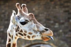 Giraffe, die heraus seine Zunge haftet Lizenzfreies Stockbild