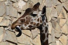 Giraffe, die heraus seine Zunge haftet stockbild