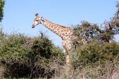 Giraffe, die hinter Bäume geht Lizenzfreies Stockfoto