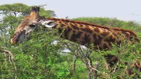 Giraffe, die Kopfsalat isst stock footage