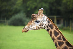 Giraffe, die nach links schaut Stockfotos