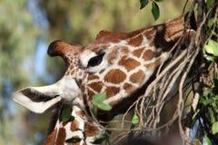 Giraffe, die Niederlassungen und Blätter isst Stockbild