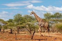 Giraffe, die in Südafrika geht stockbild