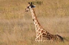 Giraffe, die sich in der Savanne hinsetzt Stockbilder
