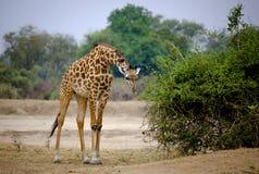 Giraffe, die sich vorwärts mit oxpecker Vögeln lehnt Stockfotografie