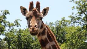Giraffe, die Sie aufpasst Stockbild