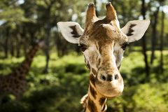 Giraffe, die Sie betrachtet stockbild
