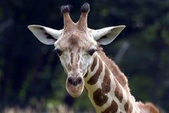 Giraffe, die Sie betrachtet Stockfoto