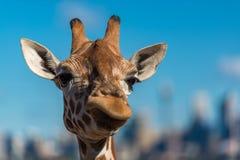 Giraffe, die skeptische Gesichter beim Kauen des Lebensmittels macht stockbild
