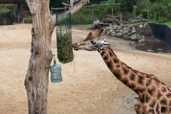 Giraffe, die Stroh isst Lizenzfreie Stockfotografie
