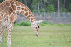 Giraffe, die unten schaut Lizenzfreie Stockfotografie