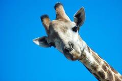Giraffe, die unten schaut Lizenzfreies Stockbild