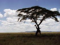 Giraffe, die Verstecken spielt stockbild