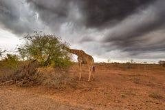 Giraffe, die vom Akazienbaum im Busch, drastischer stürmischer Himmel isst Safari der wild lebenden Tiere im Nationalpark Kruger, Lizenzfreies Stockbild