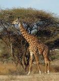 Giraffe, die vor Akazienbaum geht Lizenzfreies Stockfoto