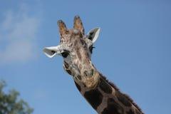 Giraffe, die zur Seite, durchdacht schaut Lizenzfreies Stockbild