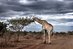 A giraffe in a dirt road against a dramatic sky Royalty Free Stock Photo