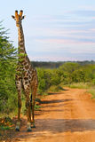 Giraffe on dirt road at sunset Stock Photos